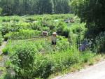 Mitä kannattaa viljellä itse?