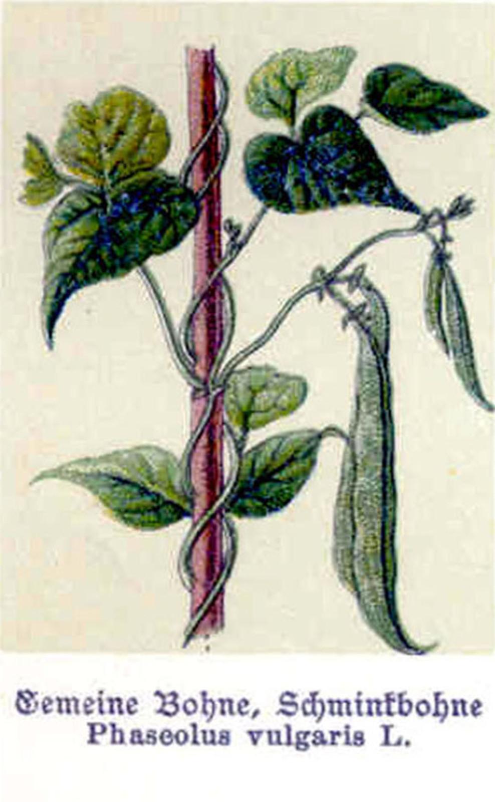 Kuukauden kasvi: tarhapapu